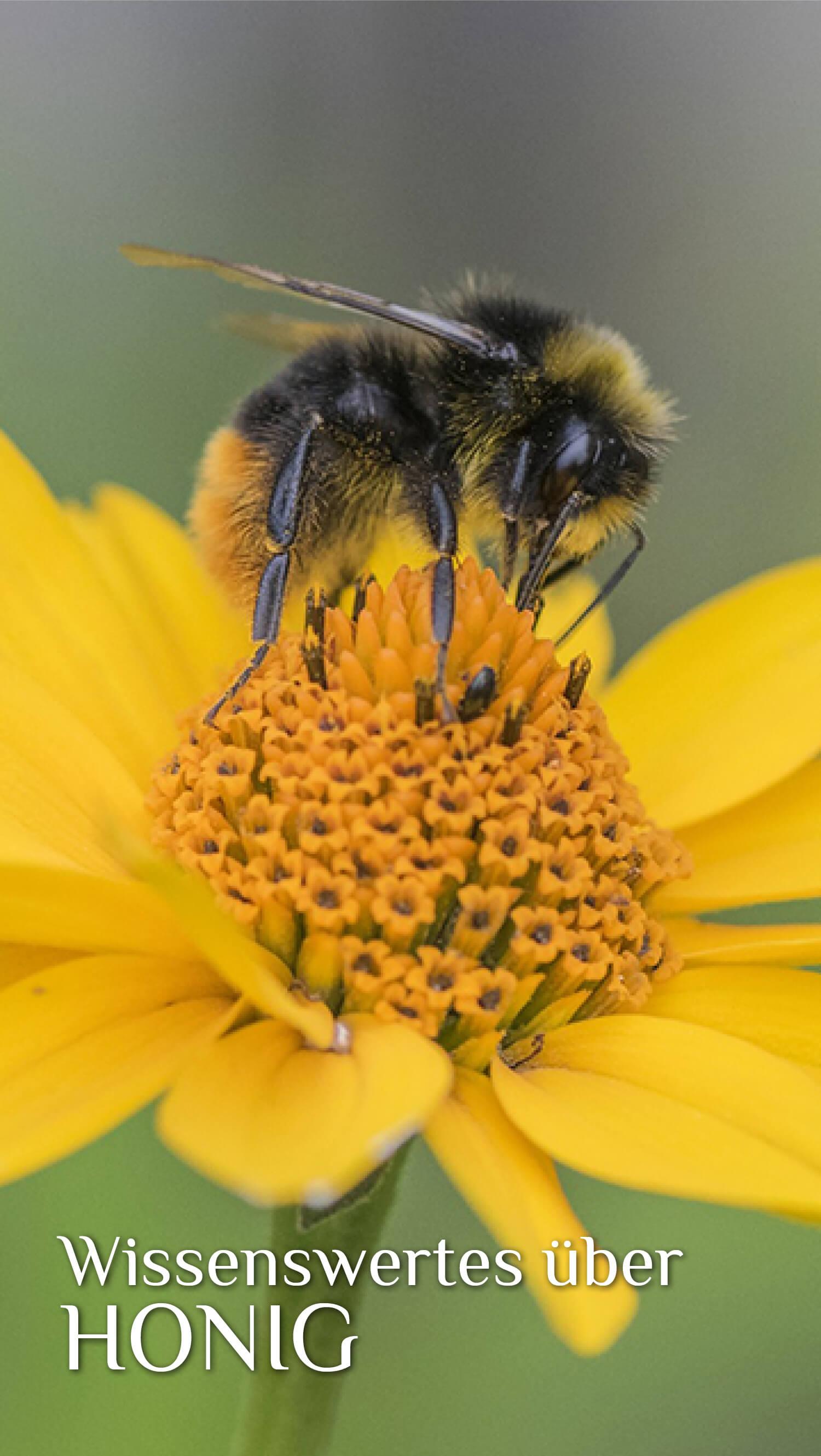 Biene sitzt auf Blume und saugt Nektar